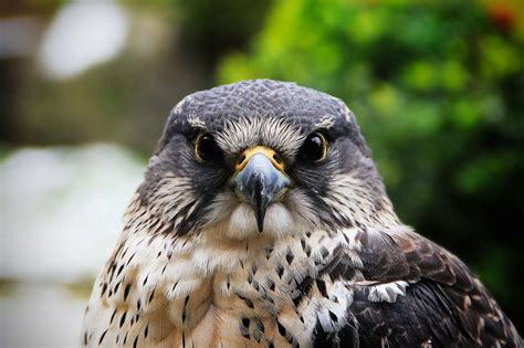 hawks wild animals news facts  world animal foundation