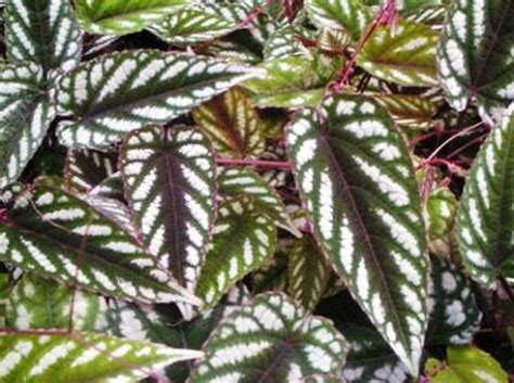 Zimmerpflanzen Datenbank Klimme by Cissus Discolor Buntbl 228 Ttrige Klimme Zimmerblumen