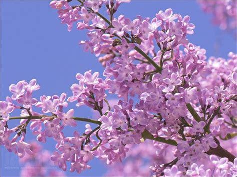 fiori lillà fiori lill 224 fiori di piante caratteristiche dei fiori