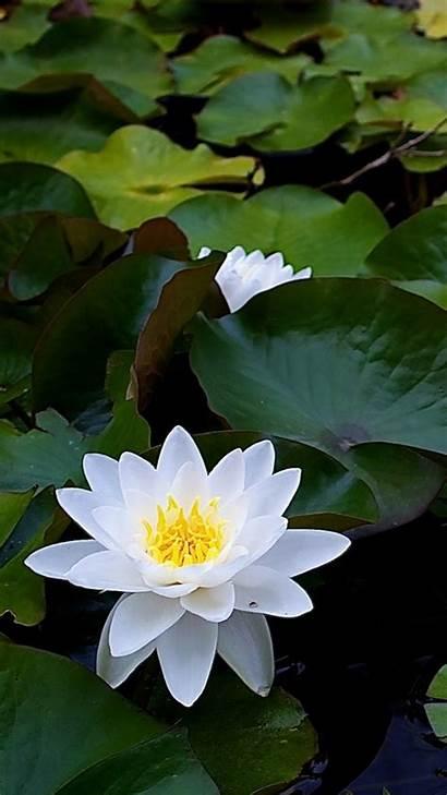 Lotus Flower Flowers Iphone Wallpapers Background Apple