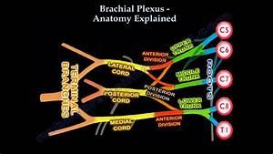 Brachial Plexus Anatomy Explained