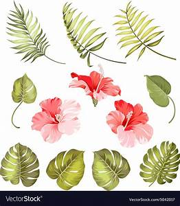 Hibiscus Single Tropical Flower Royalty Free Vector Image
