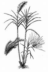 Cane Sugar Drawing Saccharum Sugarcane Officinarum Benefits Health Line Getdrawings Usda Nutritional Facts Value Plants sketch template