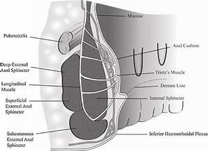 1  Anatomy Of The Anal Canal With Particular Reference To