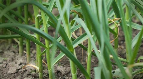 organic garlic information and buy garlic