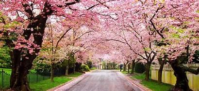 Cherry Blossom Blossoms Wallpapers Japanese Flower Japan