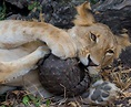 Lions try to chew on an armour-plated Pangolin in Selous ...