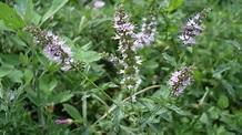 Mentha spicata: Sistematica, Etimologia, Habitat ...