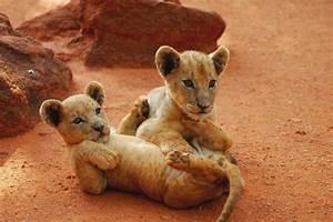Baby lions playing. - Pixdaus