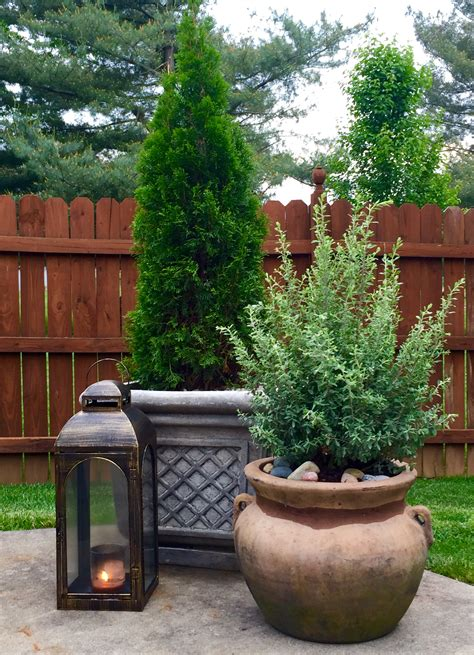 potted texas sage and emerald green arborvitae pinteres