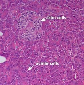 pancreas histology - Google Search | Anatomy and ...
