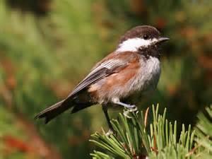 backyard birds of seattle washington pacific nw birder