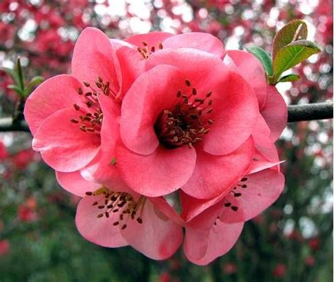 japanese for flower 10 semi di japanese quince chaenomeles japonica gardens flower and search