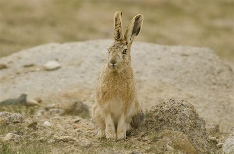 Woolly hare - Wikipedia