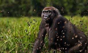 Largest ever study of gorillas and chimpanzees finds more ...