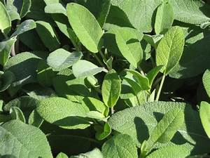 La Sauge Plante : sauge officinale salvia officinalis plantation culture entretien ~ Melissatoandfro.com Idées de Décoration