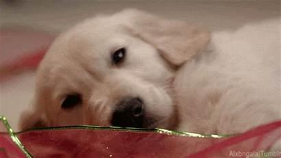 Puppy Golden Giphy Dog Retriever Puppies Gifs