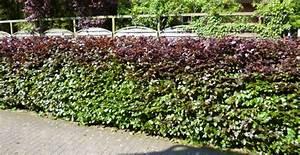 Wann Schneidet Man Thuja : wann pflanzt man kirschlorbeer pflanzzeit vom ~ Lizthompson.info Haus und Dekorationen