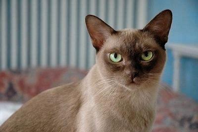 non shedding cats 10 top non shedding cats care community