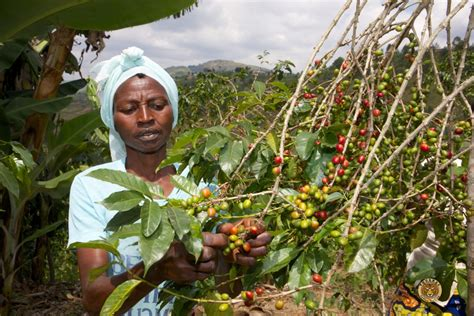 A patchwork of 450,000 small growers produce coffee all across rwanda, but visits are primarily centred around gisenyi, near the shores of lake kivu. Sustainable Growers Rwanda Improving The Livelihood Of ...