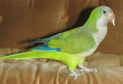 quaker bird quaker