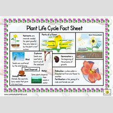 Plant Life Cycle Double Sided Fact Sheet By Bevevans22  Teaching Resources