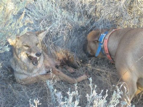 Coyote Killing Dogs