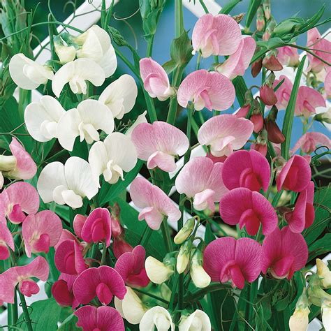 picture of sweet pea seeding sweet peas dirt simple