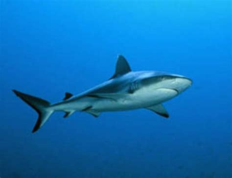 great white shark life expectancy