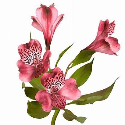 Pink Alstroemeria Flowers Lilies Peruvian Blooms Alstroemerias