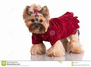 Adorable Yorkshire Terrier Dog In Clothes Stock Photo ...