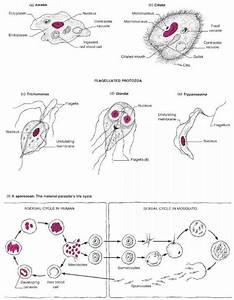 Image Gallery microbiology protozoa