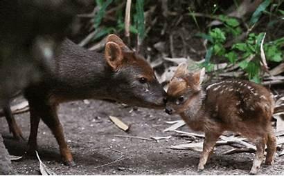 Deer Pudu Animals Fawn Tongue Newborn Ungulate