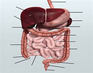 The Abdominal Organs 1