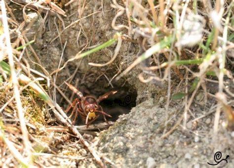 hornissen hornissennester im erdreich