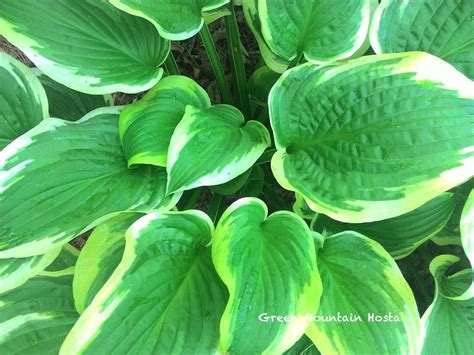 large hostas shade hosta shade fanfare green mountain hosta nursery large hosta