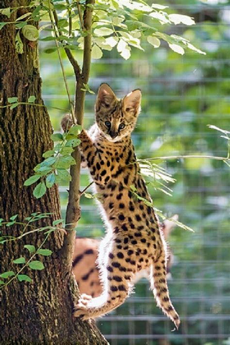 Best Images About Wild Cats Pinterest Enabling