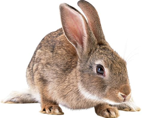 Rabbit Images Rabbit Png Images Free Png Rabbit Pictures