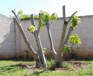 Comment Tailler Un Ficus : comment tailler un figuier france news collections ~ Melissatoandfro.com Idées de Décoration