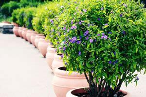 winterharte kuebelpflanzen und balkonpflanzen