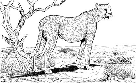 cheetah coloring pages