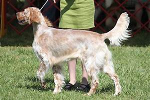 breed breed id=85&name=english setter