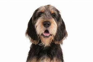 The Friendly And Clown Like Otterhound Is A Rare Yet
