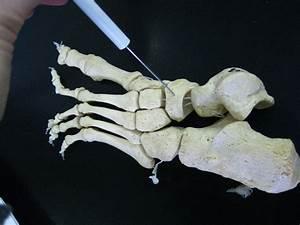Boned  Human Skeleton