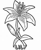 Lily Coloring Flowers Pages Flower Sheets Sheet Topcoloringpages sketch template