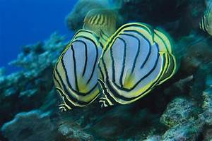 A Pair Of Meyers Butterflyfish Swimming Photograph by Tim ...