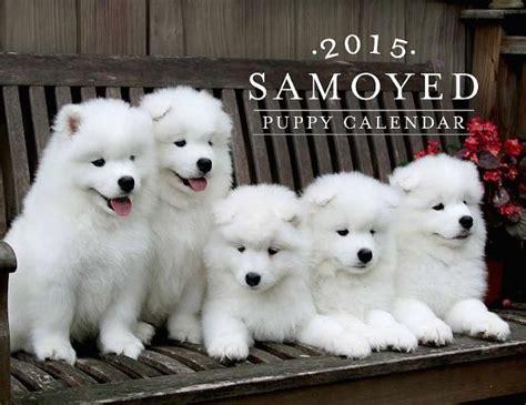 White Magic Samoyeds Purebred Studs Breeders And