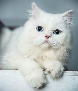 Brown persian cat with blue eyes – Popular breeds of cats ...