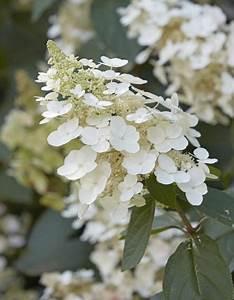 Hydrangea Paniculata Schneiden : rispenhortensie diamant rouge hydrangea paniculata ~ Lizthompson.info Haus und Dekorationen