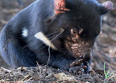tazmanian devil gifs find share  giphy